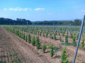 Slovak University of Agricultures wine plantation in Oponice, Slovakia